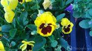 lumiaflower