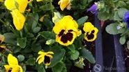samsungflower