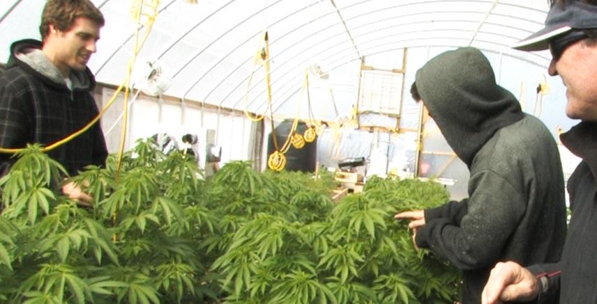 microsoft cannabis