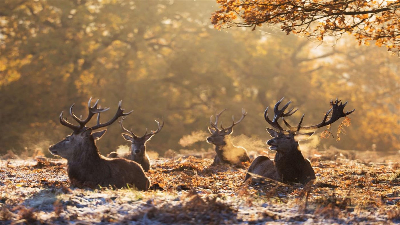 Bring the wild indoors with the free 4K National Geographic Antlers in Autumn Windows 10 wallpaper pack 4
