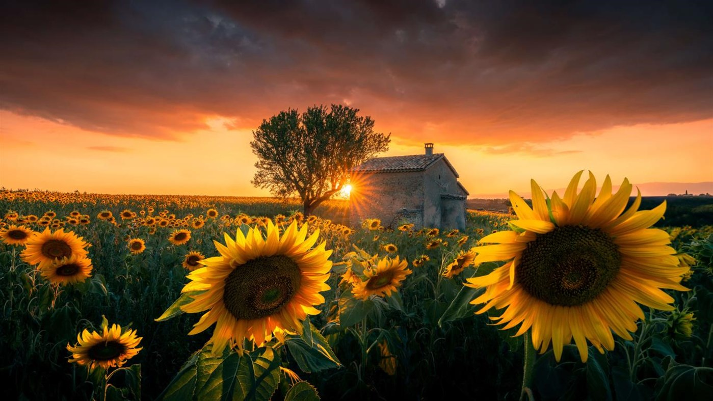Windows 10 Theme Download Sunflowers Premium Theme Pack