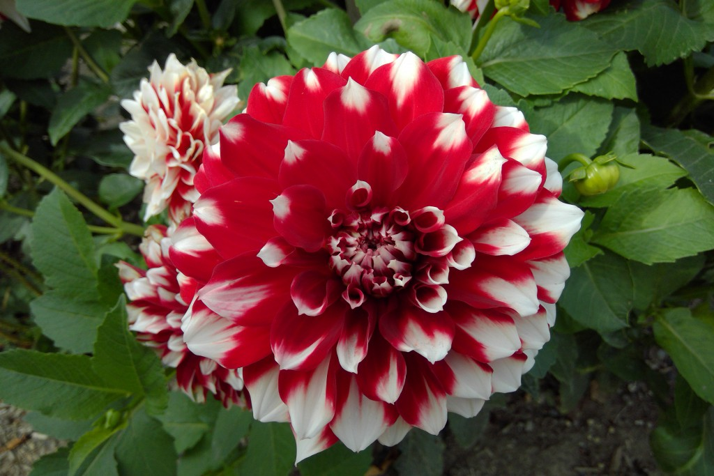 Red-and-white-flower_Surface-Camera-1024x683